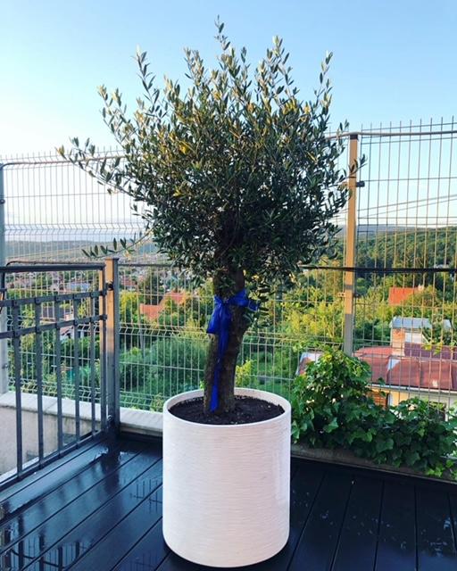 olivovník na balkon